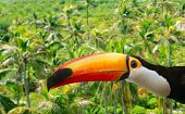 Toco toucan in Palm tree tropical jungle Brazilian bird poster