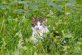 A spotted female cat prowling in the high green grass poster