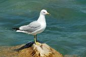 seagull is standing on rock (sea bird) poster