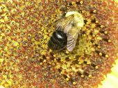 This is a bumblebee gathering pollen from a sunflower poster