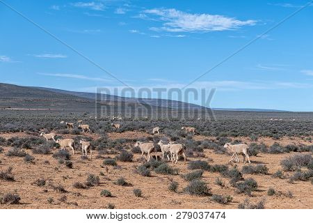 A Typical Karoo Landscape With Sheep Grazing Near Middelpos  In The Northern Cape Province Of South