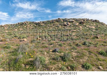 Yellow Bulbinellas (bulbinella Nutans) And Purple Felicias Above Gannaga Pass In The Tankwa Karoo Of