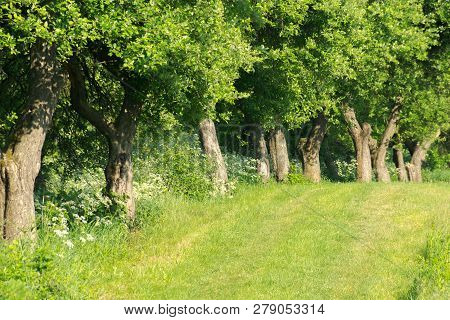 Row Of Trees Along The Grassy Meadow. Beautiful Summer Scenery. Natural Background