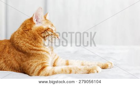 A ginger cat lays on the bed and sleeps with closed eyes and pulling out the front paws. Shallow focus and grey blurred background. Copyspace. poster