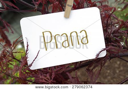 Red Japanese Maple With Card Board Prana