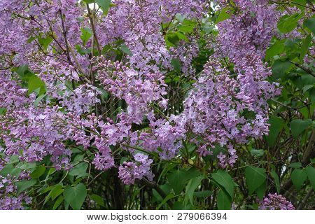 Florescence Of Common Lilac Bush In Spring