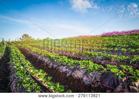 Strawberry Plant Farm On Hill / Fresh Strawberries Field Plantation Growing Landscape Garden Fruit I
