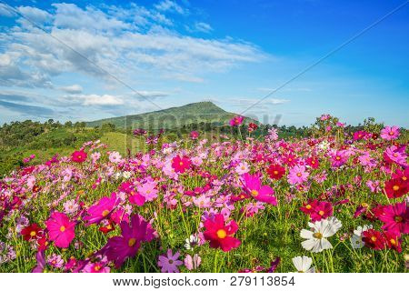 Spring Flower Pink Field / Colorful Cosmos Flower Blooming In The Beautiful Garden Flowers On Hill L