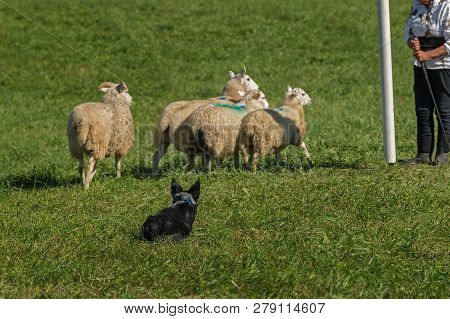Stock Dog Sits Behind Sheep (ovis Aries) Waiting On Shepherds Instructions - At Sheep Dog Herding Tr