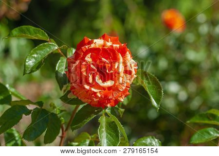 Beautiful Branch Of Rose With Yellow-red Flower Closeup In Spring Garden After