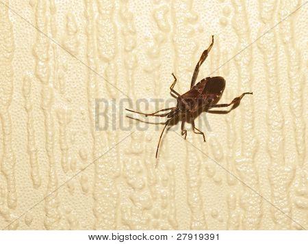 Rhinocoris Iracundus Beetle