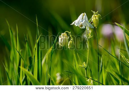 White Rural Flowers. Blooming Flowers. Beautiful White Flowers In Green Grass. Meadow With White Wil