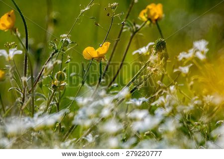 White And Yellow Wild Flowers. Blooming Flowers. Beautiful White And Yellow Wild Flowers In Green Gr