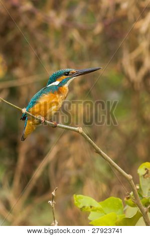 Eurasian Kingfisher Bird