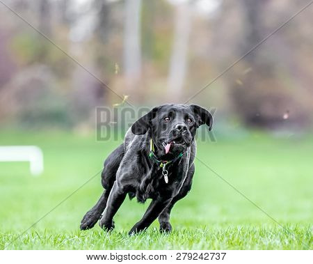 Young Black Labrador Seeing Something To Chase. Maybe A Ball Or Frisby  A Black Dog In A Park, Count