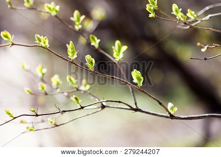 Beautiful Tree Branch With Fresh Greenery Green Leaves. Springtime In The Park. Shallow Depth Of Fie