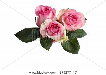 Three Beautiful Pink And White Rose Flowers With Leaves Isolated Over A White Background With Clippi