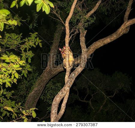 Common Brushtail Possum Trichosurus Vulpecula Climbing A Tree In Queensland Rainforest At Night