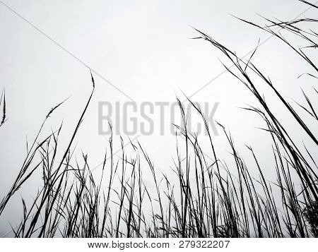 Dried Stalk Of Grass And Clear Evening Sky