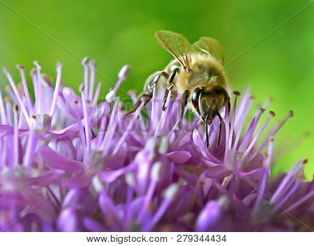 Beautiful Bee Collecting Nectar From Small Purple Flowers In My Garden