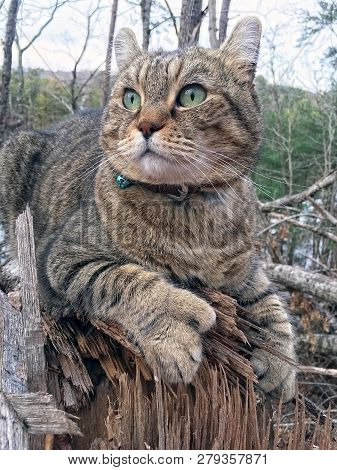 Gray Tabby Highland Lynx Cat In The Woods