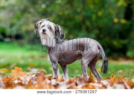 Chinese Crested Dog Standing In Autumn Fall Leaves In The Countryside Looking At The Camera. A Mostl