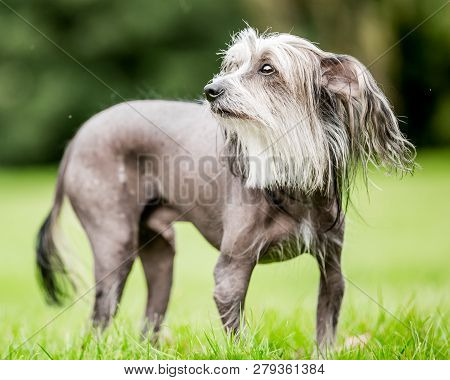 Chinese Crested Dog Standing In The Countryside Looking Up With Tail Down. A Mostly Hairless Dog In