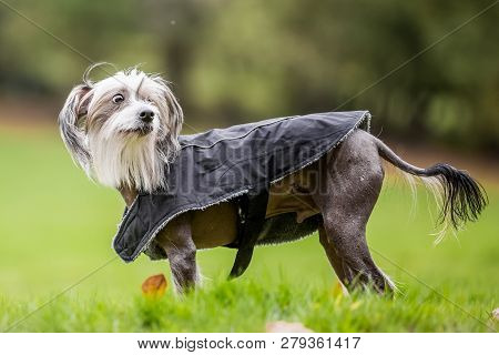 Chinese Crested Dog Standing In The Countryside In A Coat Looking Over Shoulder. A Mostly Hairless D
