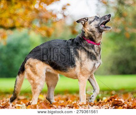 Very Old Alsatian Smiling Standing In Fall Autumn Leaves Barking. An Alsatian Or German Shepherd Dog