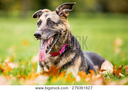 Very Old Alsatian Smiling Lying In The Grass From The Front Mouth Open Tongue Hanging Out. An Alsati