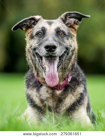 Very Old Alsatian Portrait Looking At The Camera With Mouth Open And Tongue Hanging Out. An Alsatian