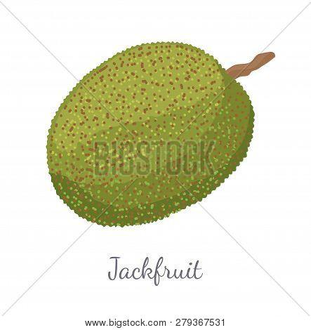 Jackfruit Exotic Juicy Stone Fruit Vector Isolated. Jack Tree, Fenne, Jakfruit Or Jak. Fig, Mulberry
