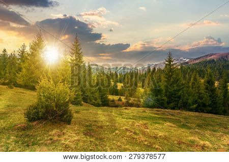 Beautiful Springtime Landscape In Mountains At Sunset In Evening Light. Spruce Forest On Grassy Hill