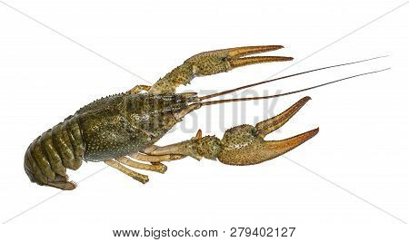 Crayfish. Live Crawfish Isolated On White Background