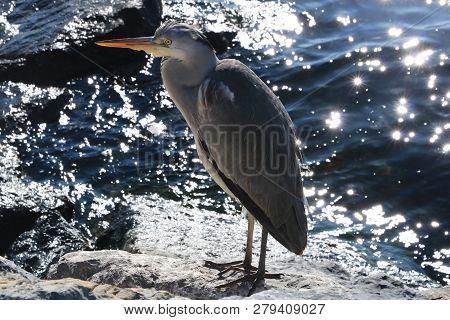 Grey Heron Shore Of Marmara Sea, Turkey