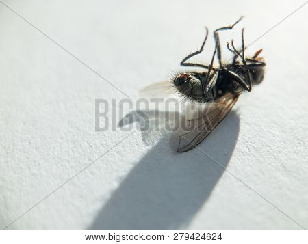 Dead fly on the white background