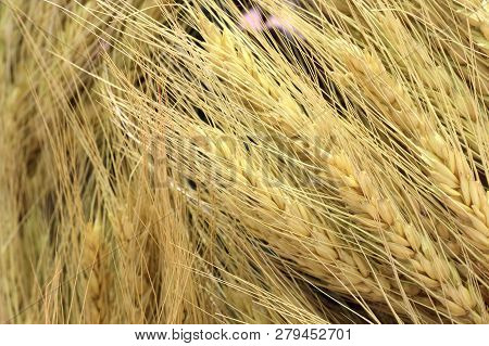 Organic Barley Dry Rice Wheat Grains Texture Background