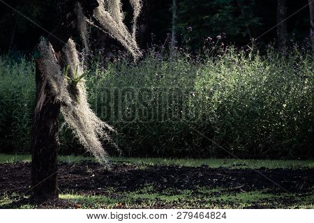 Tillandsia Usneoides Or Spanish Moss Decoration Hang On A Tree. Famous Plant For Cleaning Air And Re