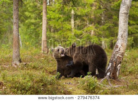 Two European Brown Bear (ursos Arctos) Cubs Play Fighting In Boreal Forest, Finland.