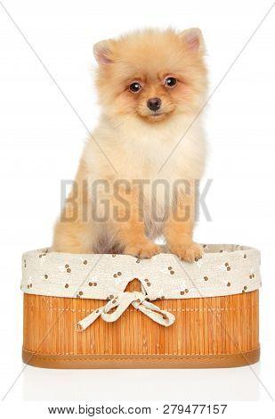 Pomeranian Spitz Puppy In Basket On White Background. Baby Animal Theme