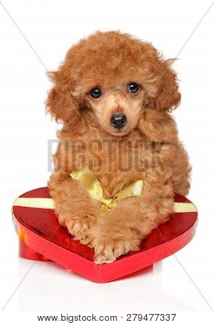 Toy Poodle Puppy With Red Valentine Heart On White Background, Front View. Baby Animal Theme