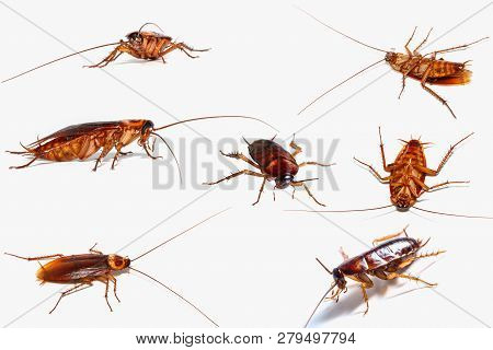 Set of Cockroach with Still alive  on white background. poster