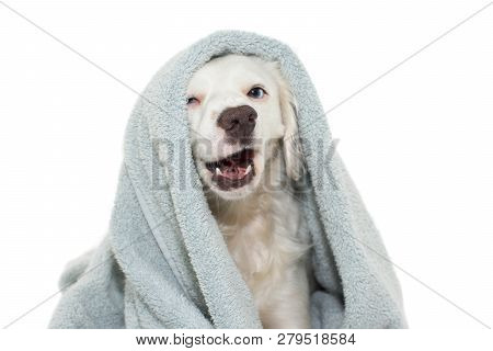Dog Bathing. Funny  Dog With Blue Eyes  Wrap With A Colored Towel Waiting For A Shower. Isolated Aga