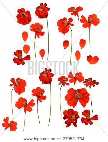 Dried Pressed Kosmeya, Cosmos Delicate Flowers And Petals Isolated