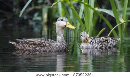 Pair Of Mottled Duck (anas Fulvigula) On A Florida River