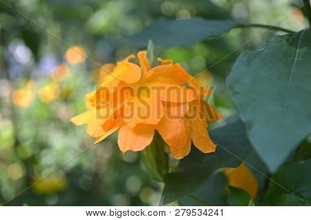 Orange Crossandra Flower, Crossandra Sp., Central Of Thailand