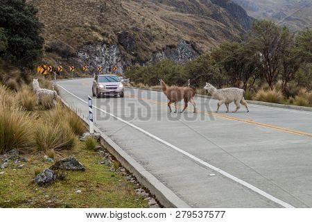 Crossing Llamas And A Car At The Road Cuenca - Guyaquil In National Park Cajas, Ecuador
