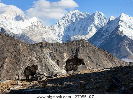 Yak, Group Of Two Yaks On The Way To Everest Base Camp, Nepal Himalayas Yak Is Farm An D Caravan Ani