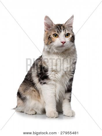 cat on a white background (breed - kurilian bobtail)