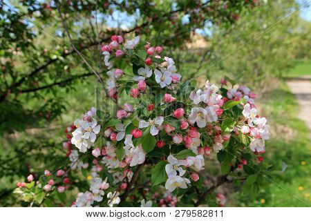 The Blooming Branch Of The Apple Tree